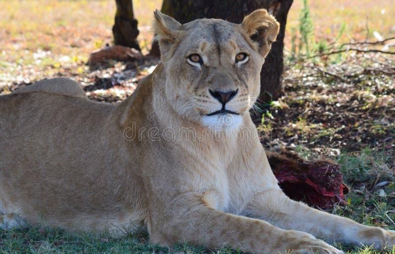 Lionne image stock