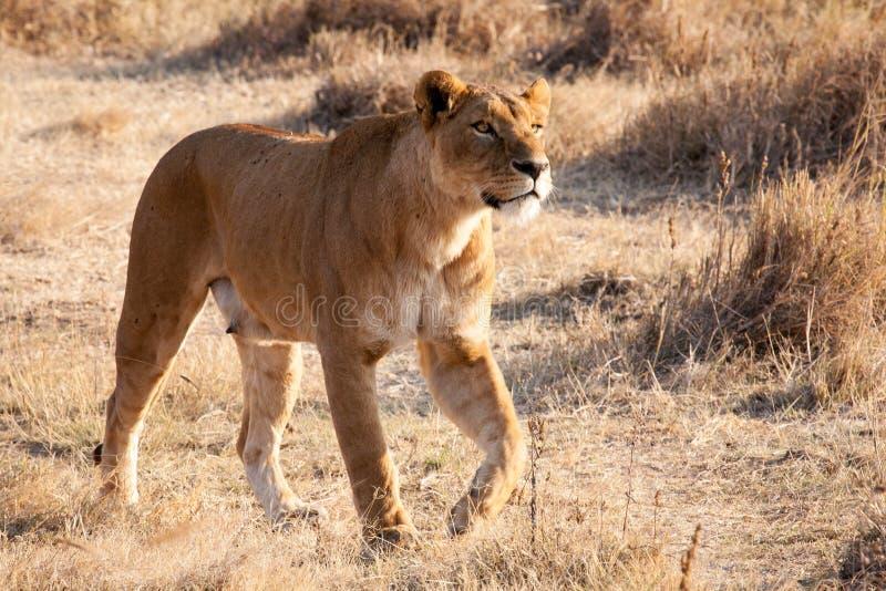 Lionne photo stock