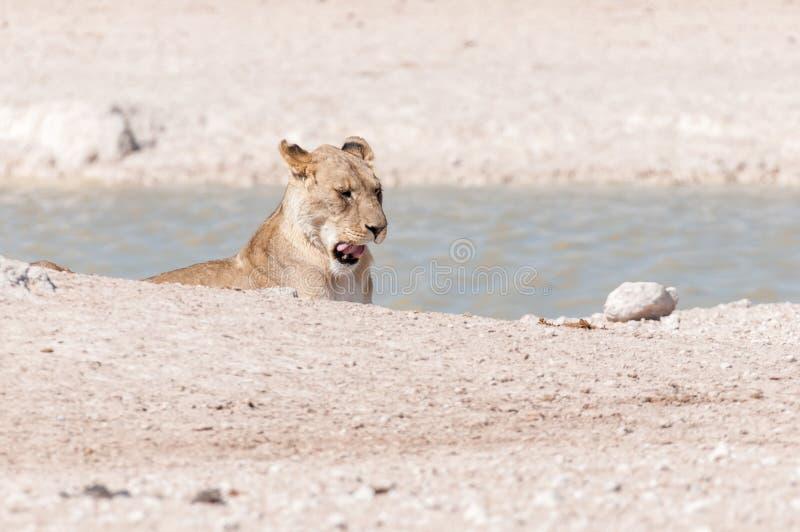 Lionne africaine baîllant à un point d'eau en Namibie du nord images libres de droits