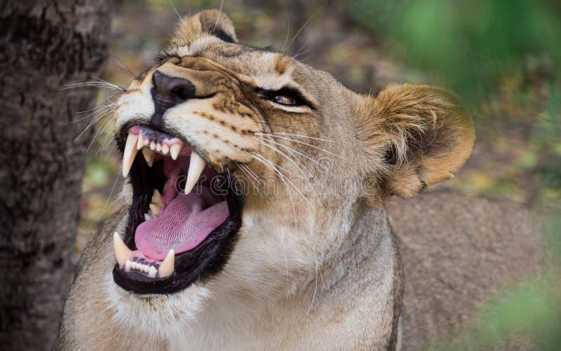 Lionne africaine de grognement photo stock