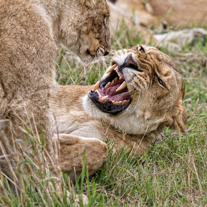 Lionne avec l'petit animal, Kenya, Afrique photos stock