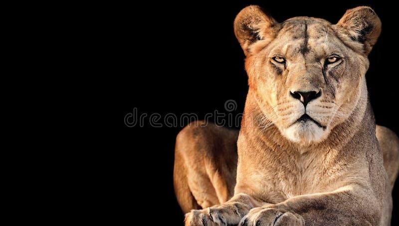 Lionne avec le fond noir photo libre de droits