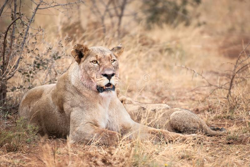 Lionne avec un petit animal photos stock