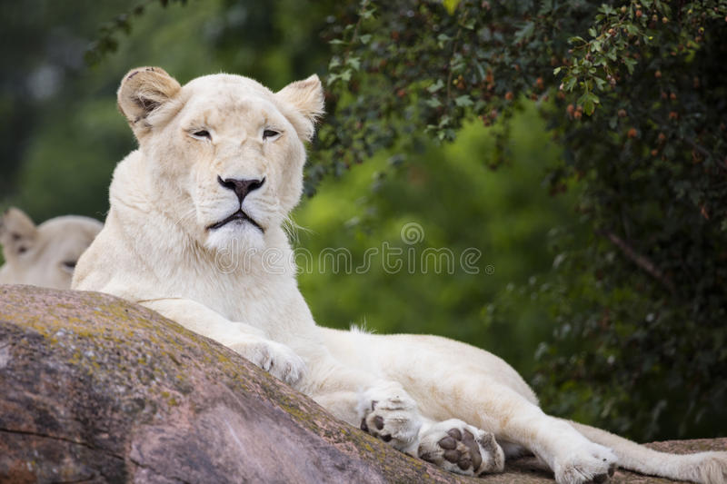 Lionne blanche images stock