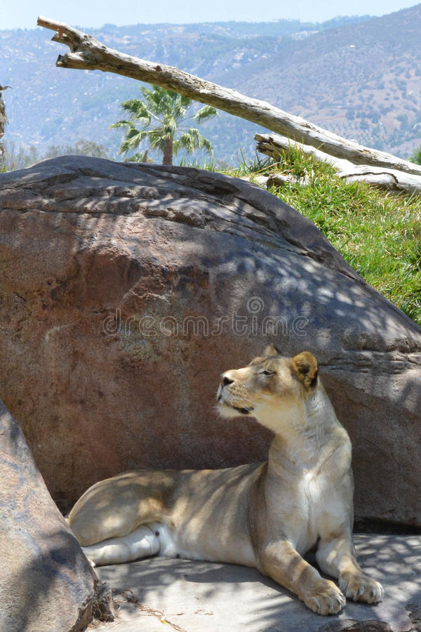 Lionne chez San Diego Safari Park image stock
