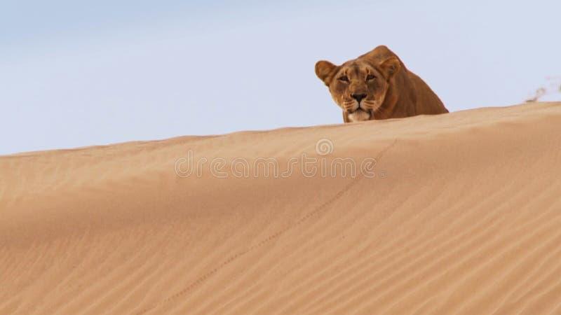 Lionne colletée dans le désert de la Namibie photos stock