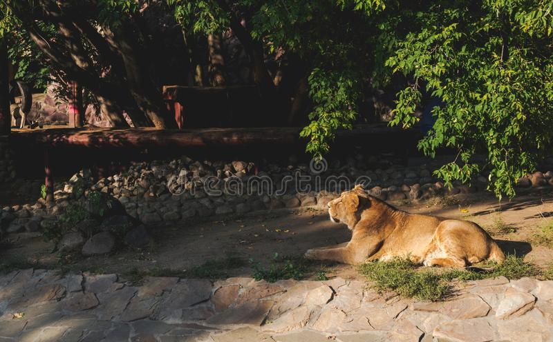 Lionne dans le zoo photos stock