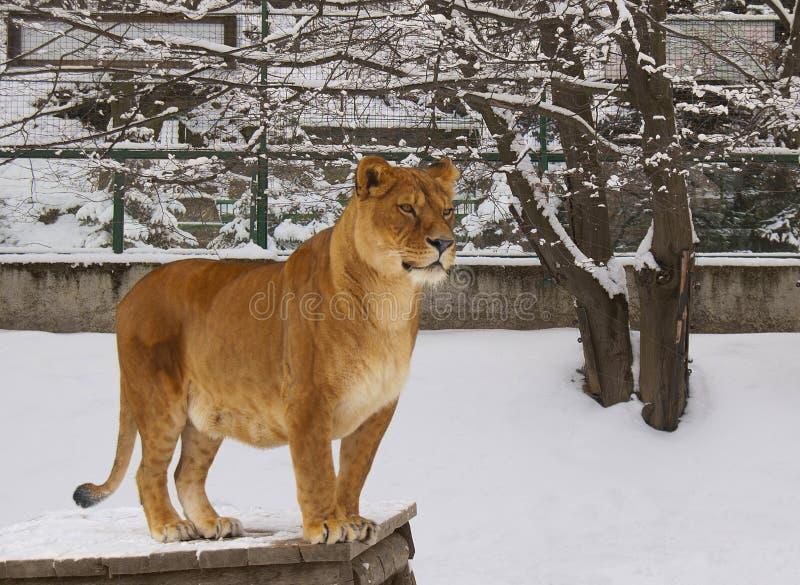 Lionne dans le zoo photos libres de droits