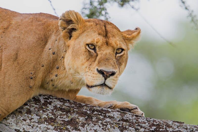 Lionne dans un arbre dans Serengeti photographie stock libre de droits