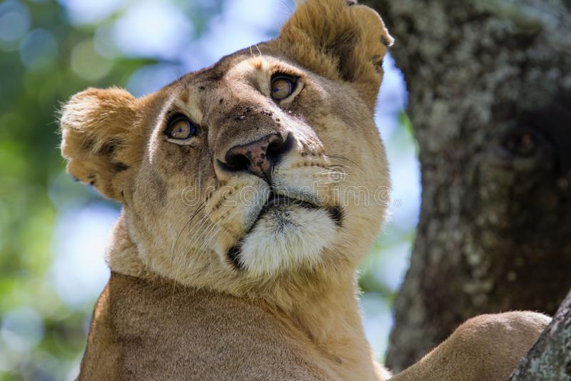 Lionne dans un arbre dans Serengeti image libre de droits
