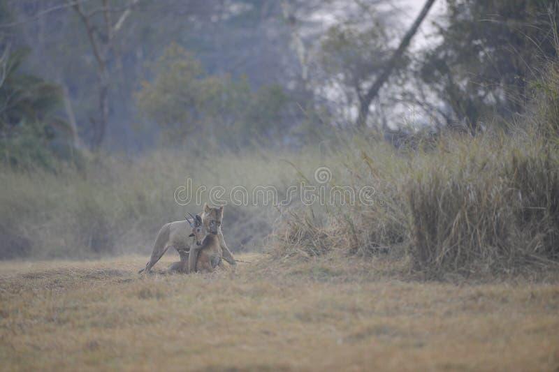 Lionne de lion avec la mise à mort photographie stock