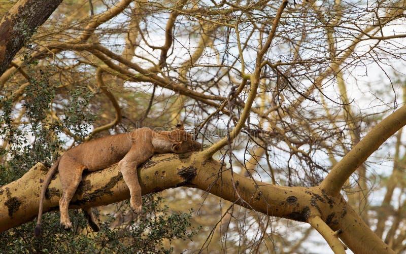 Lionne de sommeil sur un arbre photo libre de droits