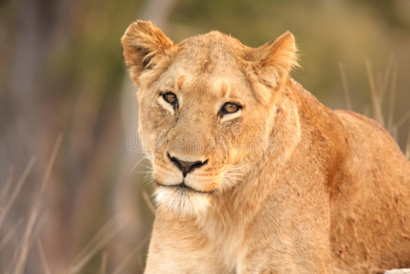 Lionne en sables de Sabi image libre de droits