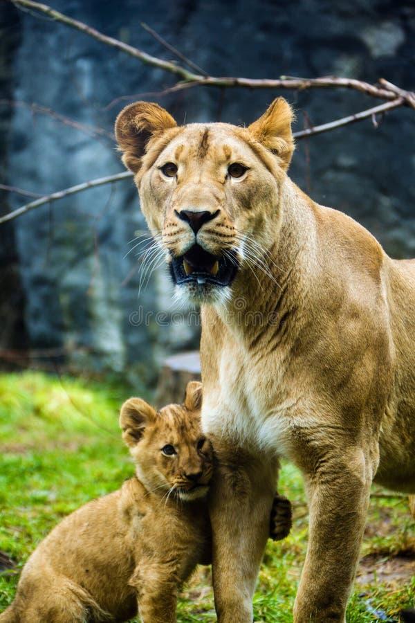 Lionne et son petit animal photos stock