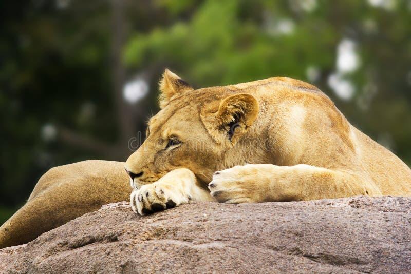 Lionne faisant une sieste sur Boulder images stock