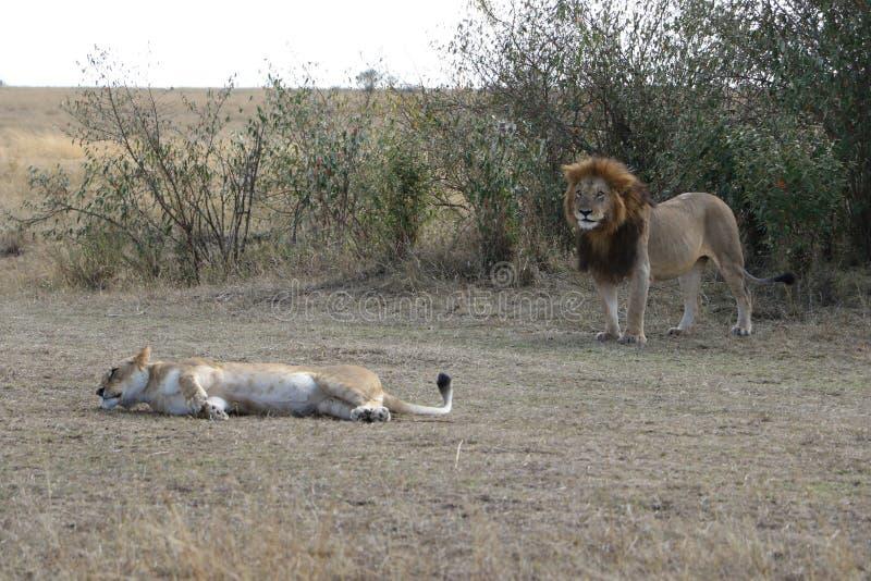Lionne femelle de lion masculin dans le maasai Mara photos libres de droits
