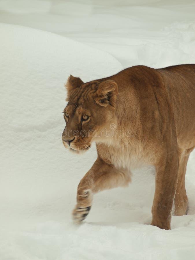 Lionne marchant dans la neige photographie stock libre de droits