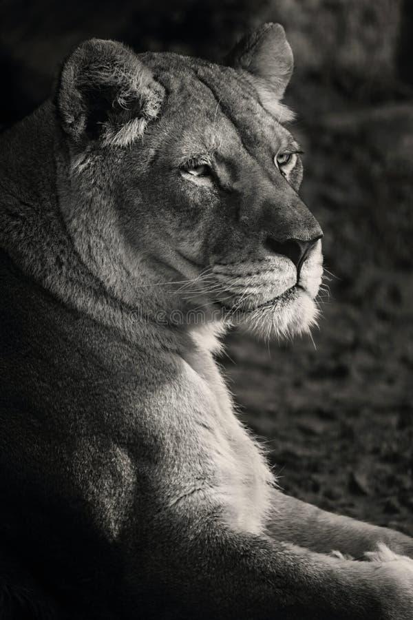 Lionne noire et blanche photo stock