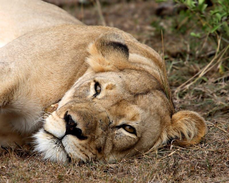 lionne paresseuse photo libre de droits