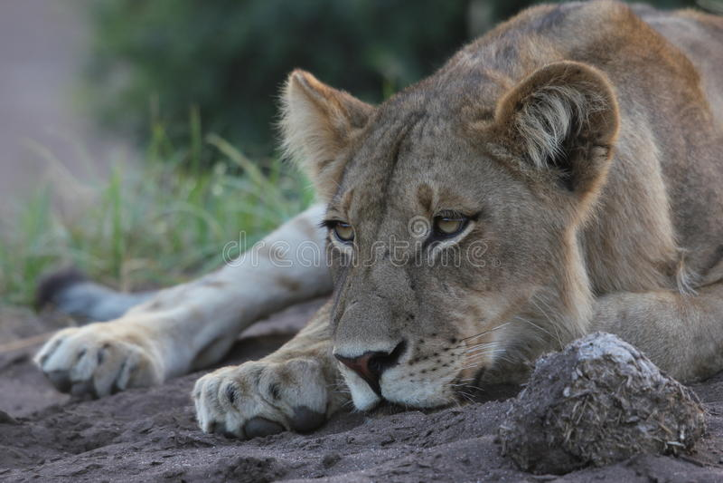 Lionne reposant sa tête photo libre de droits