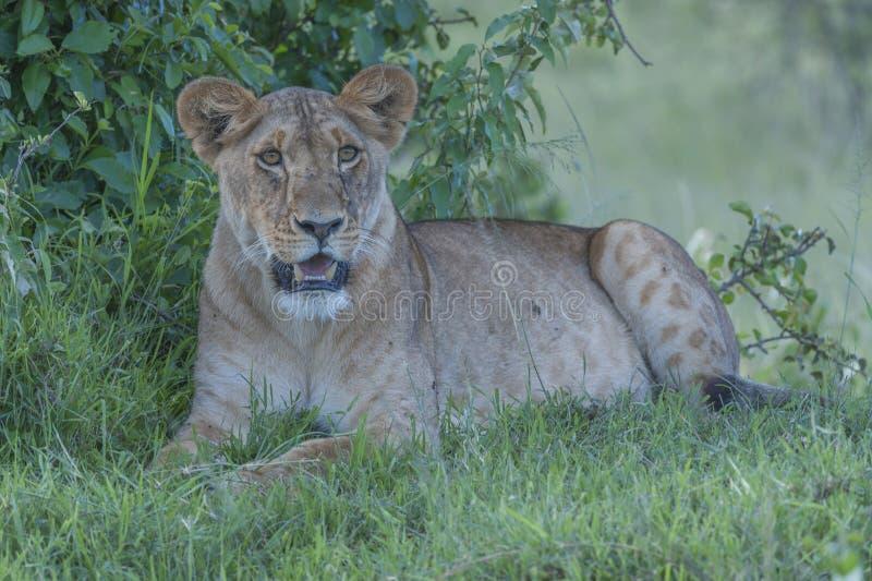 Lionne, se reposant sous l'arbre photographie stock