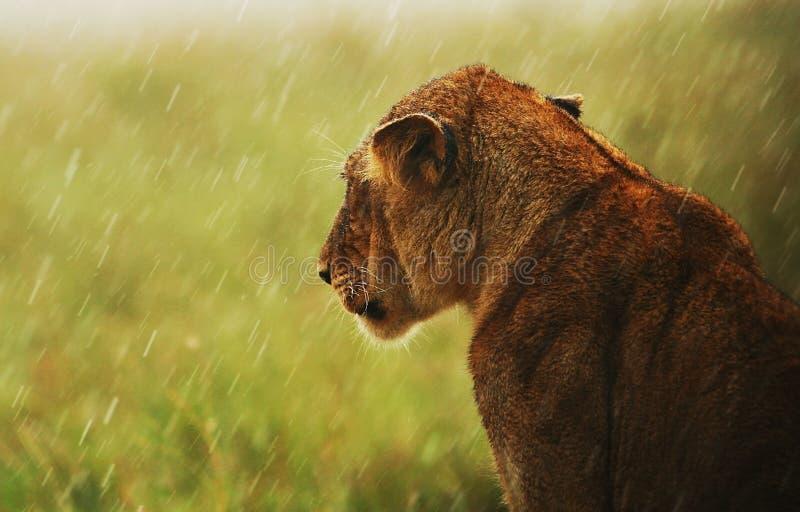 Lionne sous la pluie dans le sauvage image stock