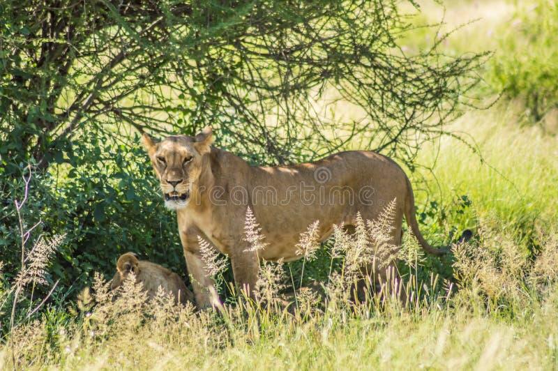 Lionne sous un arbre dans la savane images libres de droits