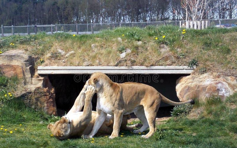 Lionnes au jeu photographie stock libre de droits