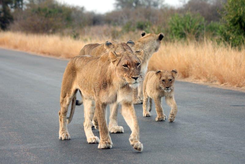 Lionnes et un petit animal photo stock