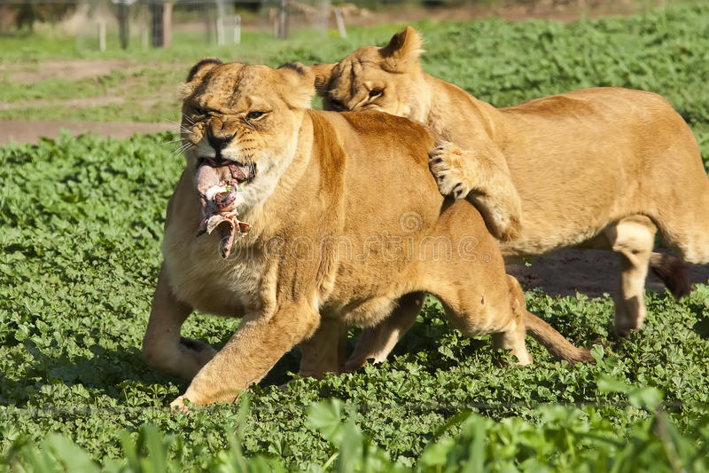 lionness 库存照片
