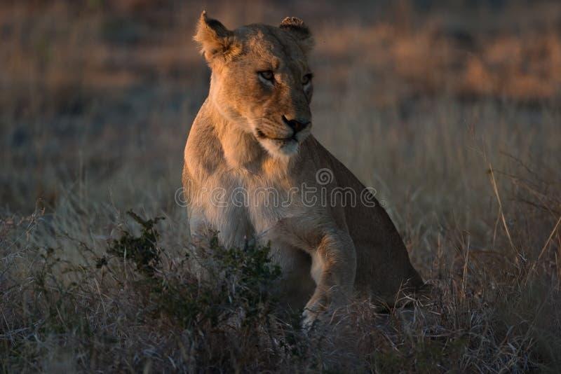 Lionness Africano Foto de archivo