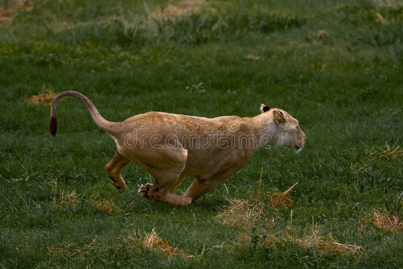 Lionness Africano Fotos de archivo libres de regalías