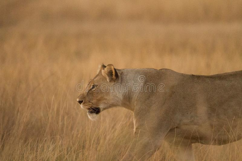 Lionness hunting in Africa stock photos
