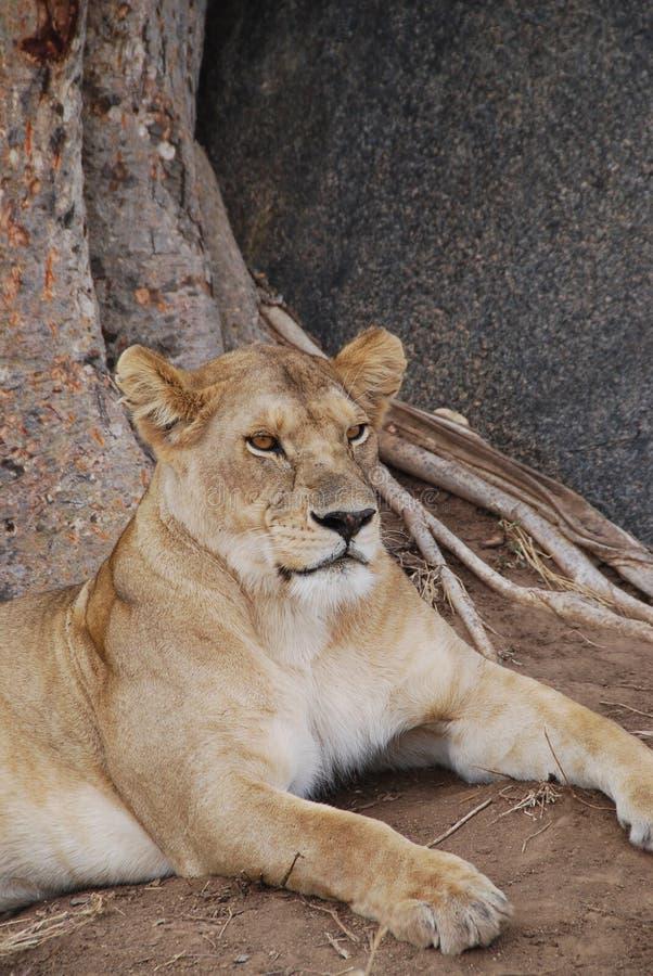 Lionness stående royaltyfria foton