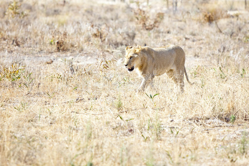 Download Lionness Wondering The Hot African Savannah Stock Image - Image: 13345143