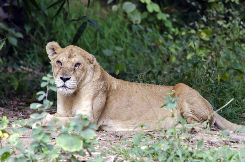 Lionnesszitting op schaduw royalty-vrije stock afbeeldingen