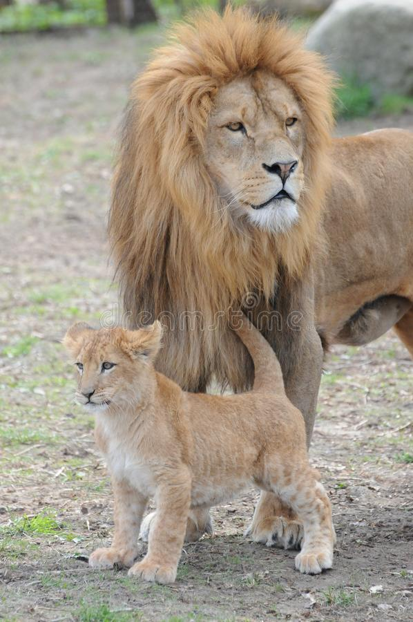 Download Lions stock photo. Image of africa, wild, lion, skin - 14010262