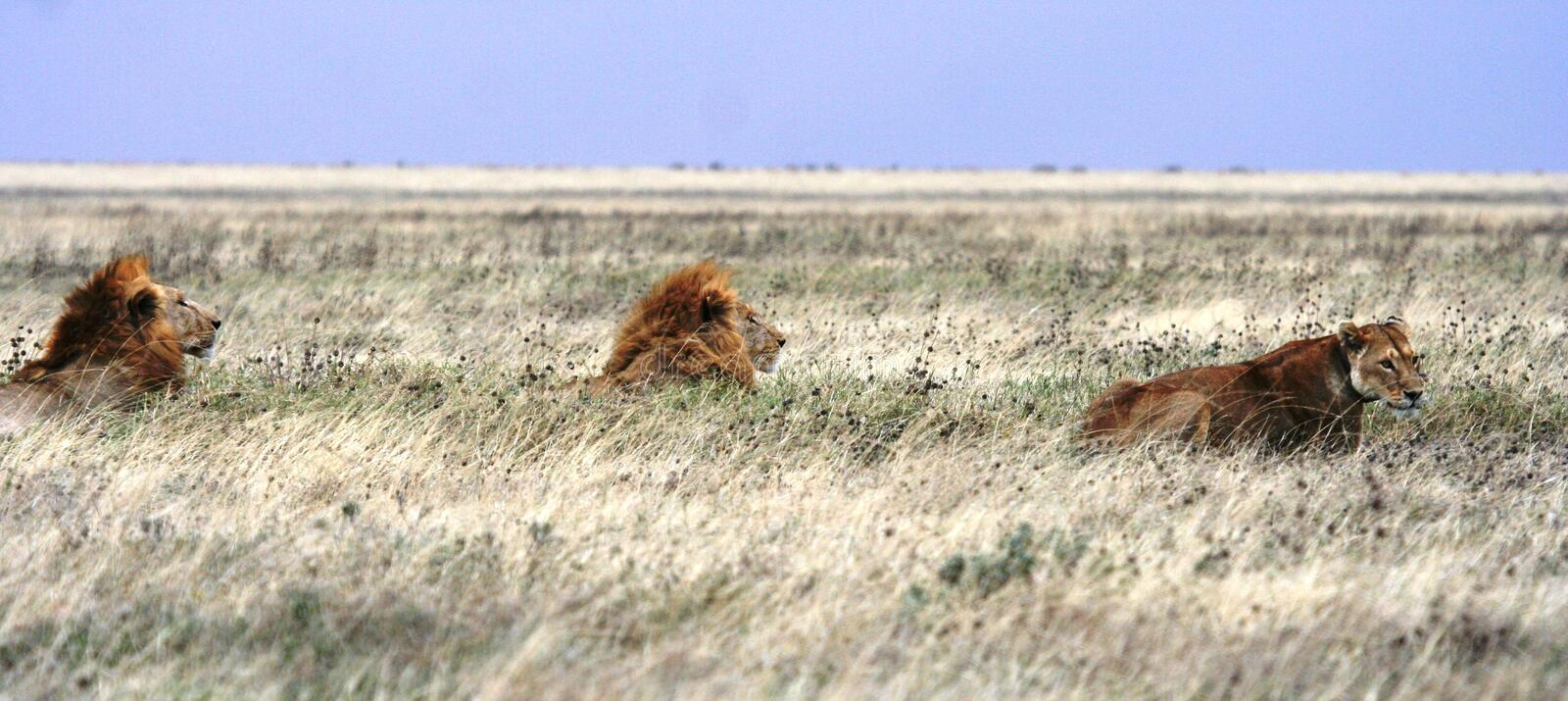 Lions royalty free stock photos