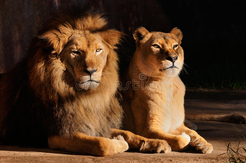 Lions. Are unusually social compared to other cats. A lion pride consists of related females and offspring and a small number of dominant males royalty free stock image
