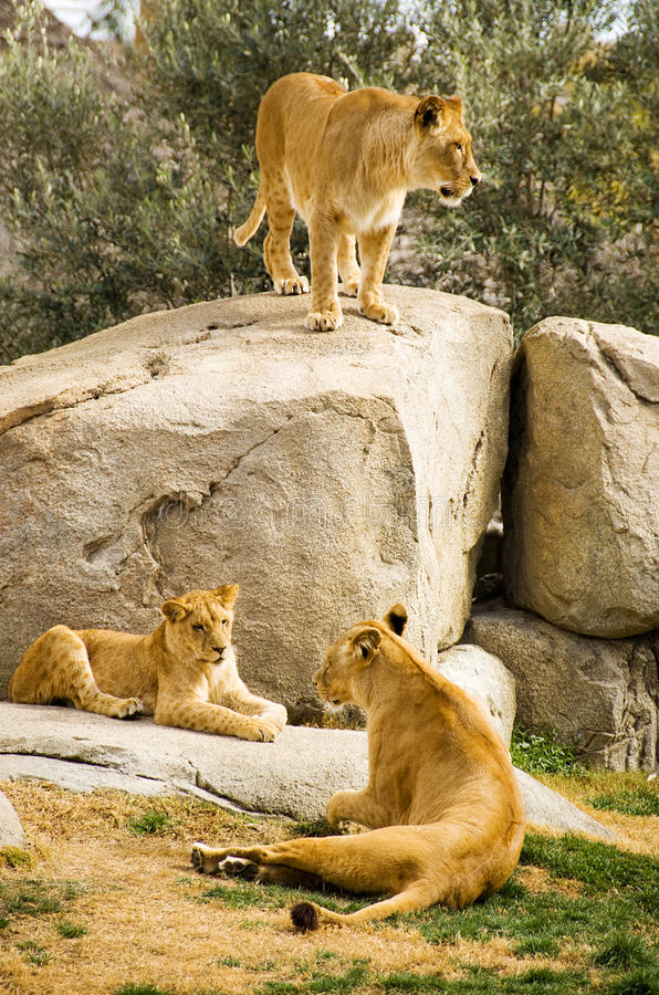 Download Lions stock image. Image of reservation, wildlife, animal - 23875649
