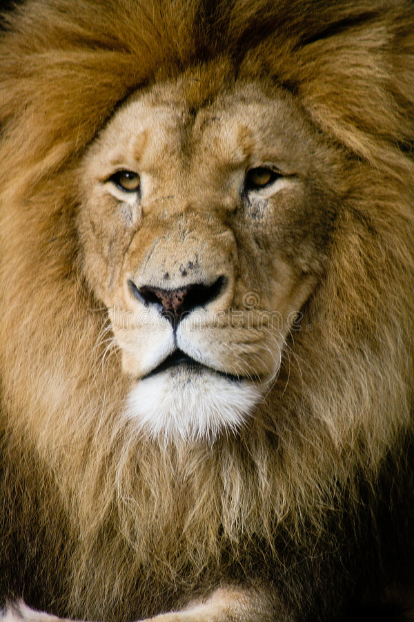 Download Lions stock image. Image of closeup, african, relax, africa - 4745947