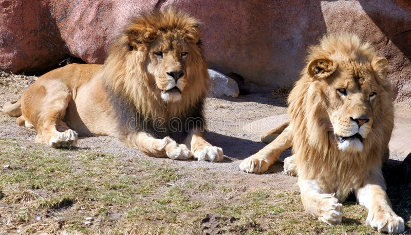 Download Lions stock image. Image of aggressive, lazy, lions, african - 574933