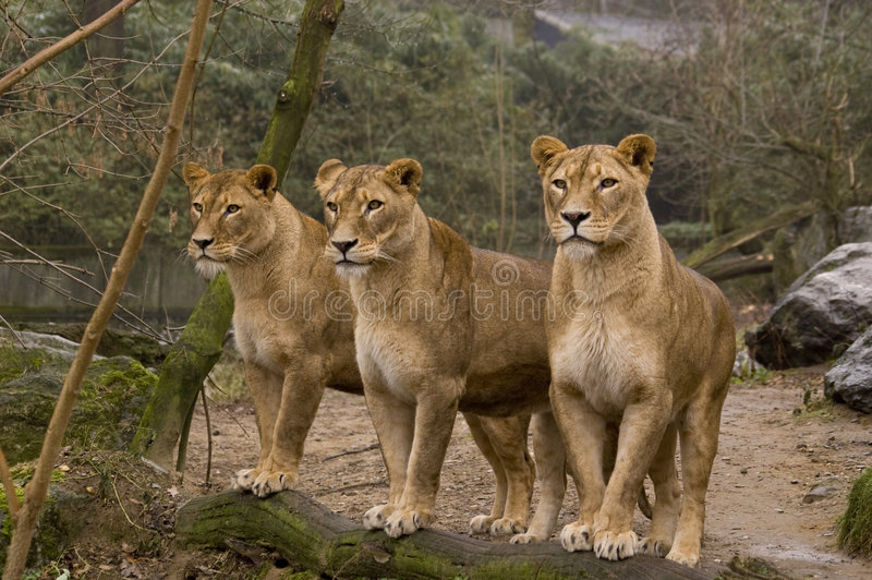 Lions. Three female lions waiting for food in a zoo stock images
