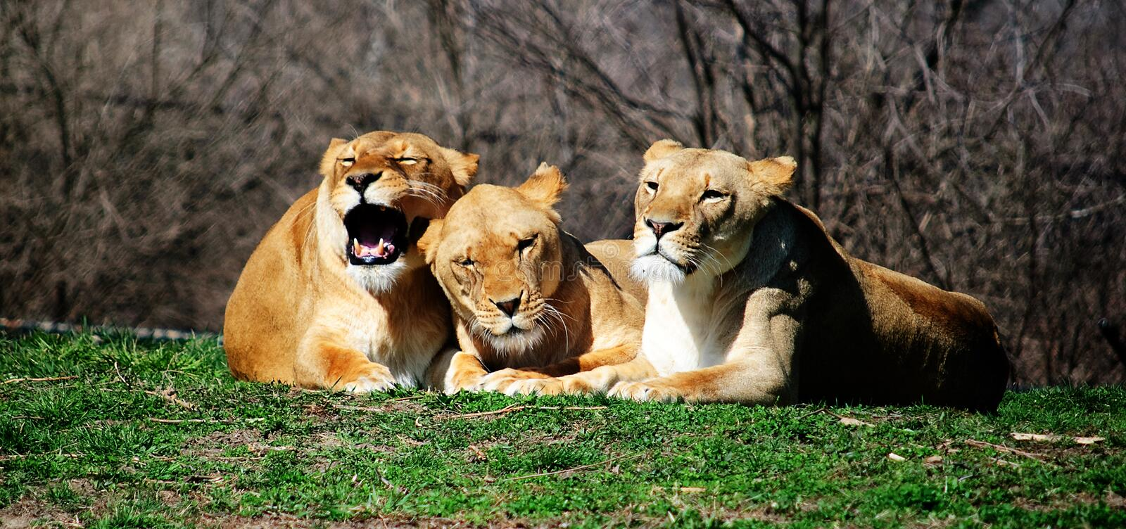 Download Lions stock photo. Image of looking, cuddling, grass, nature - 8607958