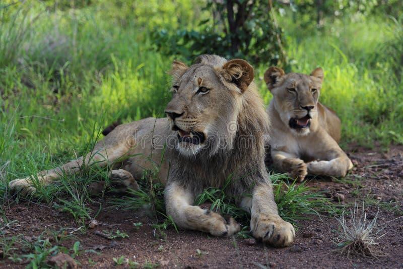 Lions adolescents en parc national de Hwage, Zimbabwe photographie stock