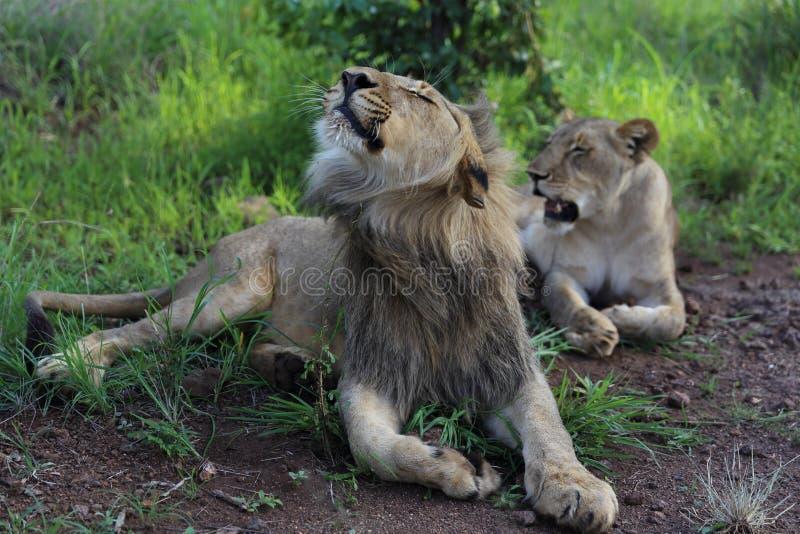 Lions adolescents en parc national de Hwage, Zimbabwe Secousse de la tête image stock