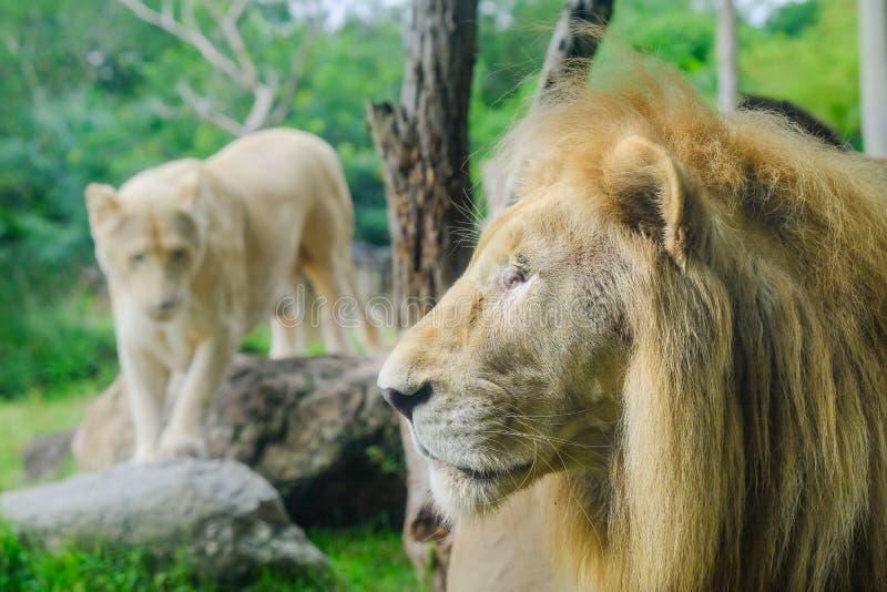 Lions adultes de paires dans le jardin zoologique image libre de droits