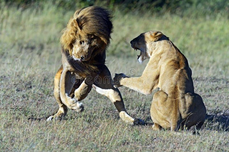 Download Lions stock image. Image of savannah, mara, kenya, planet - 39514469