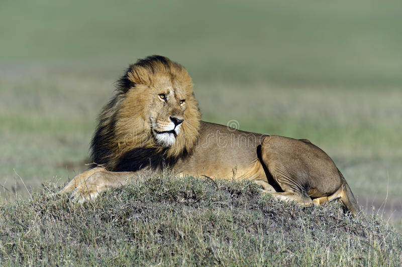Download Lions stock photo. Image of wild, savannah, flora, life - 39514480