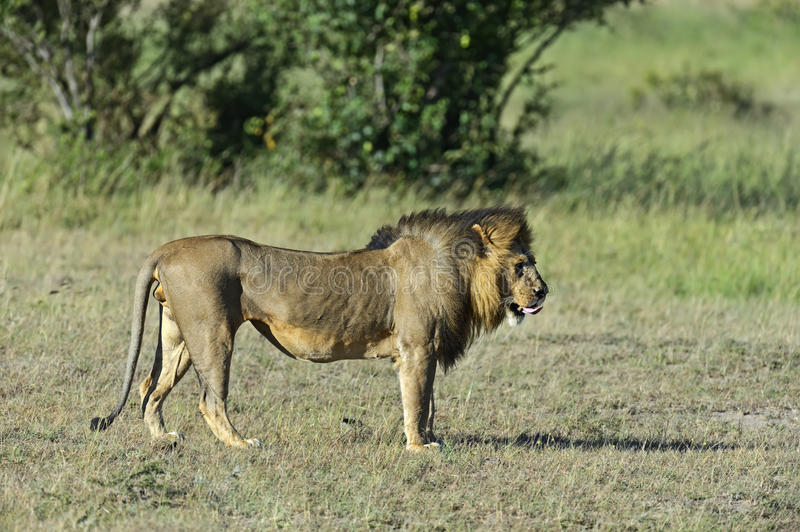 Download Lions stock photo. Image of planet, parks, beasts, fearful - 39514500